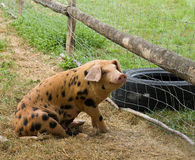 Happy Pig. Spotted Pig with genial expression Stock Photography