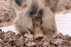 Happy Pig. Close up of a happy muddy farm pig rooting in the mud, throwing mud around Royalty Free Stock Photo