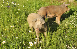 Happy pig. Surrounded by flowers and grass Royalty Free Stock Image