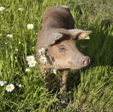 Happy pig. Surrounded by flowers and grass Royalty Free Stock Photography