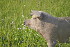Happy pig. Surrounded by flowers and grass Stock Photo