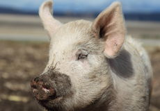 Happy pig. A happy pig with a muddy snout Royalty Free Stock Photography
