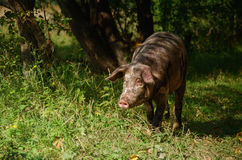 Happy pig in the forest. Happy pig in the green forest Stock Images