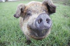 Close on Pig or Hog Stock Images