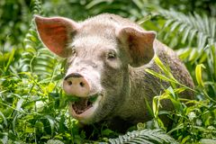 A happy pig in Papua New Guinea royalty free stock image