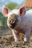 Happy Pig Portrait. Cute biological farm pig with muddy snout looking at the camera Royalty Free Stock Images