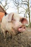 Happy pig portrait Stock Photography
