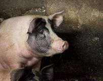 Happy pig Royalty Free Stock Photography