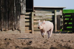 Happy pig running. Funny biological farm pig running towards the camera with flapping ears, in a muddy meadow Royalty Free Stock Images