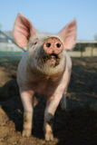 Happy pig snout. Cute biological farm pig with muddy snout looking at the camera. Focus on snout Stock Images