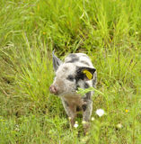 Happy pig. Surrounded by flowers and grass Royalty Free Stock Images