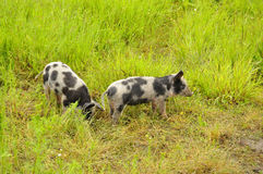 Happy pig. Surrounded by flowers and grass Stock Image