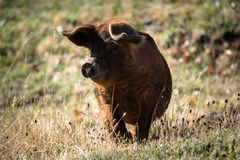Happy pig under the sun royalty free stock images