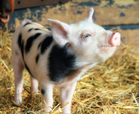 Happy piggy. Very cute little newborn piggy pig sus scrofa in a petting zoo in the Netherlands stock photos