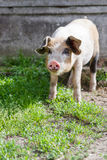 Happy piglet in fresh green grass. In a beautiful day of spring Royalty Free Stock Image