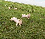 Happy Piglets. 4 happy piglets on a biological farm, running and playing around in the meadow Royalty Free Stock Image
