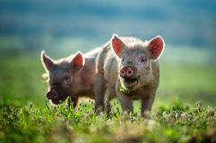 Happy piglets eat grass  Royalty Free Stock Photos