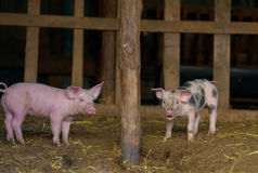 Happy piglets at the farm Royalty Free Stock Images