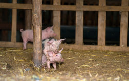 Happy piglets at farm, playing in springtime Royalty Free Stock Image