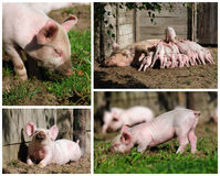 Happy piglets high resolution. Compilation of various pictures of little piglets outside on a small biological farm. Compilation of 4 high resolution images stock photo