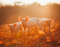 Happy piglets playing in leaves at sunset Royalty Free Stock Images