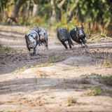 Happy Piglets Stock Images