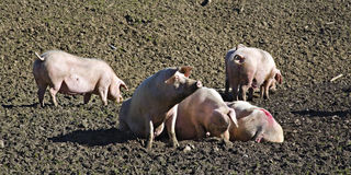 Happy pigs Stock Images