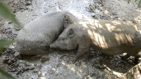 Happy pigs family wallowing and playing in mud on rural farm yard at summer time. Wild boar crossed with vietnamese pigs fighting. In muddy water on traditional stock video