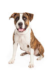 Happy Pit Bull Cross Sitting Stock Images
