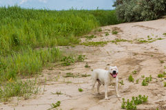 Happy Pit bull dog, smile dog face, American Staffordshire Terrier. Natural sand beach background stock photos