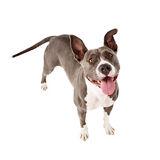Happy Pit Bull Dog Standing Looking Up. An overhead view of a  playful and happy Pit Bull dog standing up and looking up Stock Photos