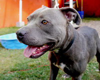 Happy Pit Bull. Friendly Smiling Pit Bull Dog Royalty Free Stock Images