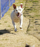 Happy pitbull chasing a lure at the park Stock Image