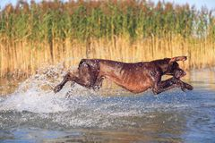 Happy playful muscular thoroughbred hunting dog German shorthaired pointer. Is jumping, running on the water splashing it. Happy playful muscular thoroughbred stock image