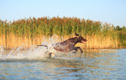 Happy playful muscular thoroughbred hunting dog German shorthaired pointer. Is jumping, running on the water splashing it. Happy playful muscular thoroughbred royalty free stock images