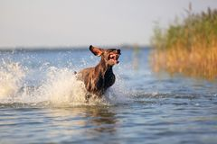 Happy playful muscular thoroughbred hunting dog German shorthaired pointer. Is jumping, running on the water splashing. Happy playful muscular thoroughbred stock image
