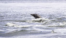 Happy, playful wild dolphins stock photography