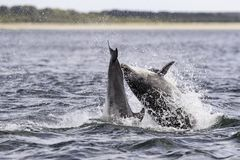 Happy, playful wild dolphins royalty free stock photography