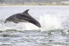 Happy, playful wild dolphins stock images