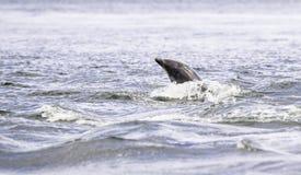Happy, playful wild dolphins stock photos