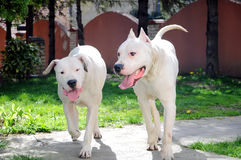 Happy playing dogs. Dogo Argentino breed dogs running and playing together Stock Images