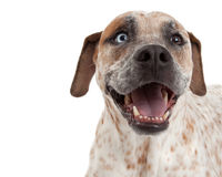 Happy Pointer Mix Closeup. A closeup of a cute Cattle Dog, Boxer and Pointer mixed breed dog with a happy expression Royalty Free Stock Photo