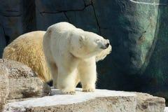 Happy polar bear in the sun Royalty Free Stock Photo