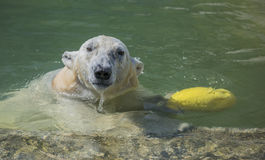 Happy polar bear swims Stock Images