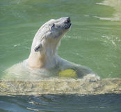 Happy polar bear swims Royalty Free Stock Photos
