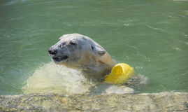 Happy polar bear swims Royalty Free Stock Photography