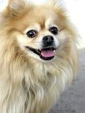 Happy Pomeranian stock photos