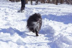 Happy Pomeranian dog. Winter pomeranian dog. Black pomeranian dog. royalty free stock images