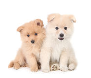 Happy Pomeranian Puppies Cuddling Together on White Background Royalty Free Stock Photo