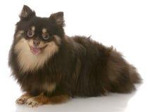 Happy pomeranian puppy Stock Images